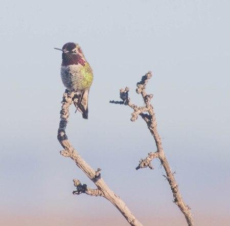 Anna's Hummingbird / Photo by Ilana DeBare
