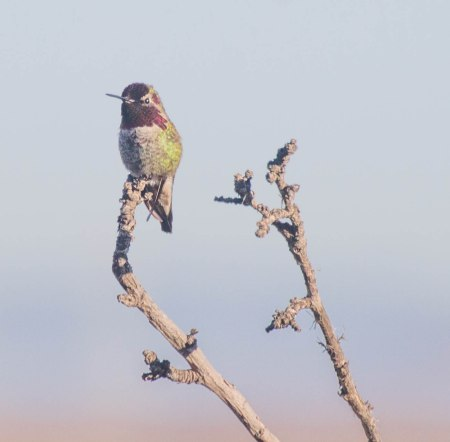 Anna's Hummingbird / Photo by Ilana DeBare