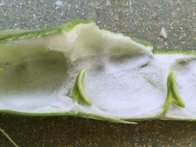 The white fleece inside of the pod, with beans removed / Photo by Ilana DeBare